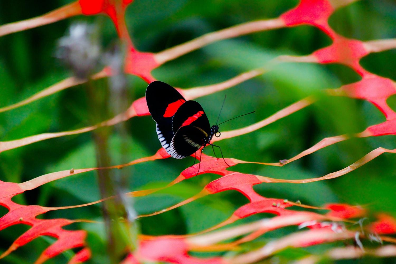Rotschwarzer Schmetterling auf Atiu Cookinseln