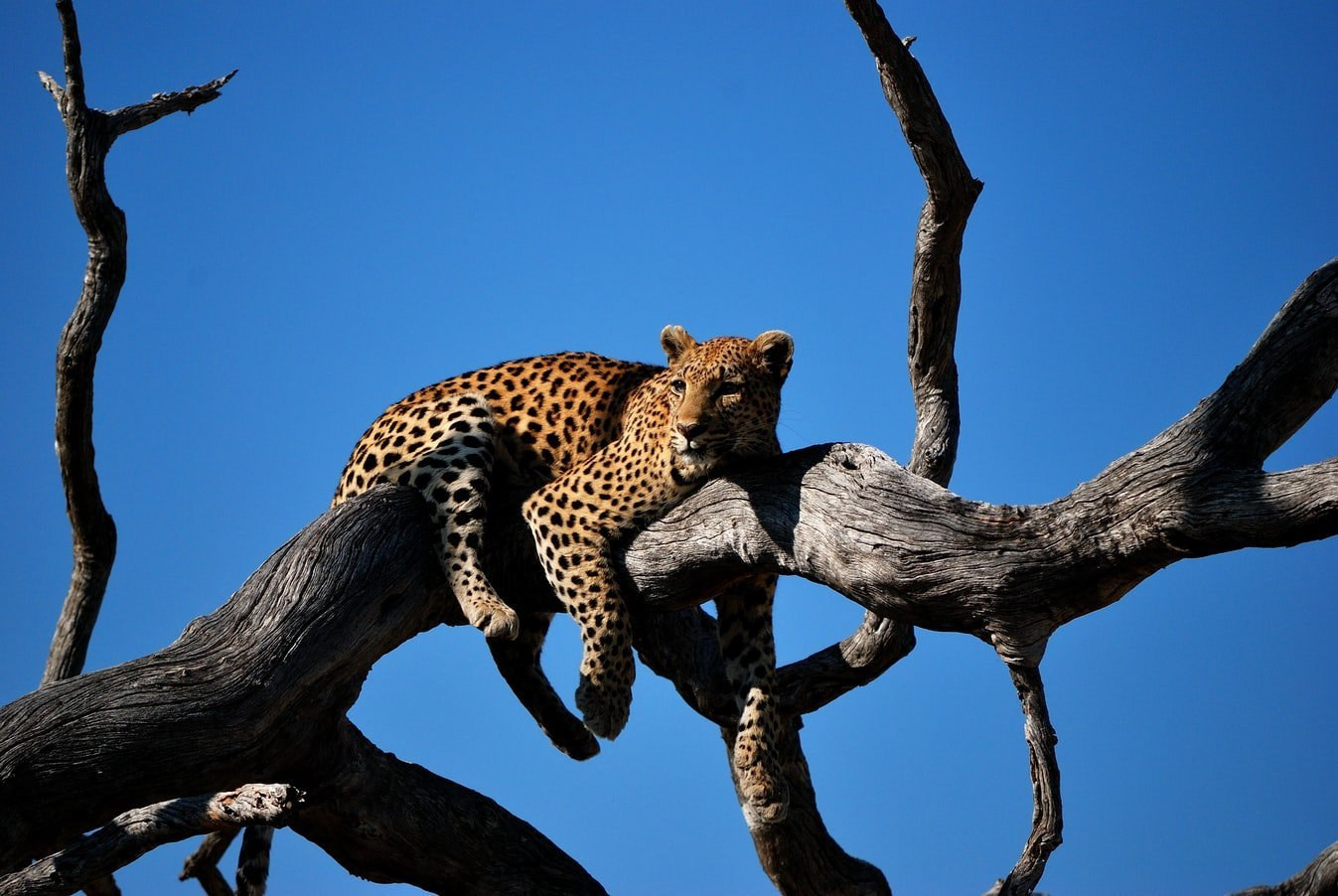 Leopard Nationalpark Botswana