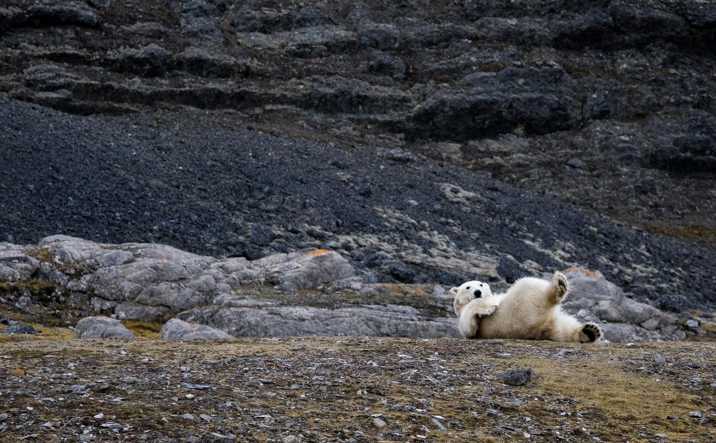 Eisbär auf Spitzbergen Norwegen