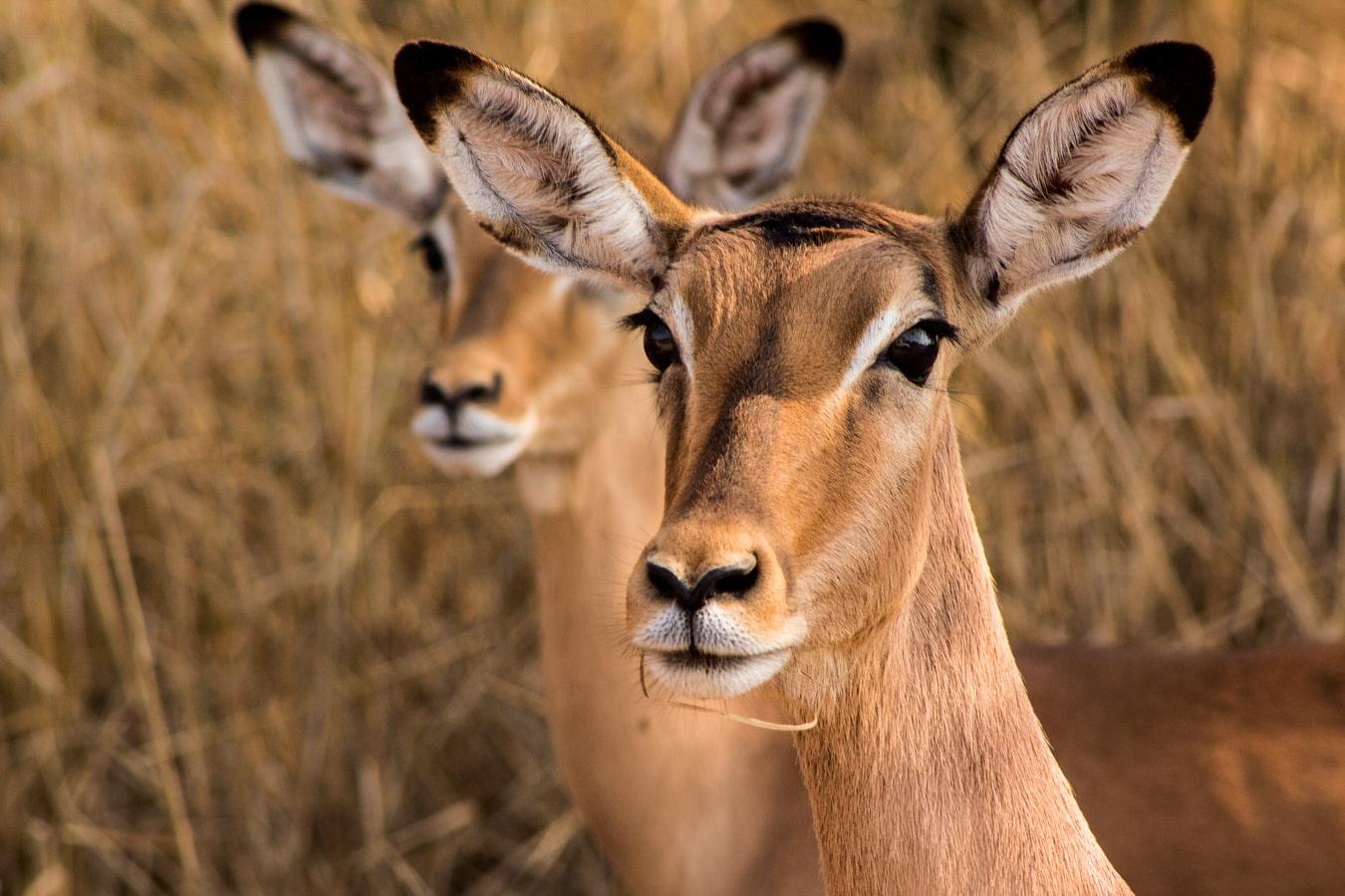 Zwei weibliche Impala-Antilopen in Kenia