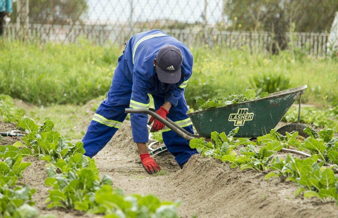 Mann pflanzt Setzlinge in Landwirtschaftlichem Betrieb in Südafrika