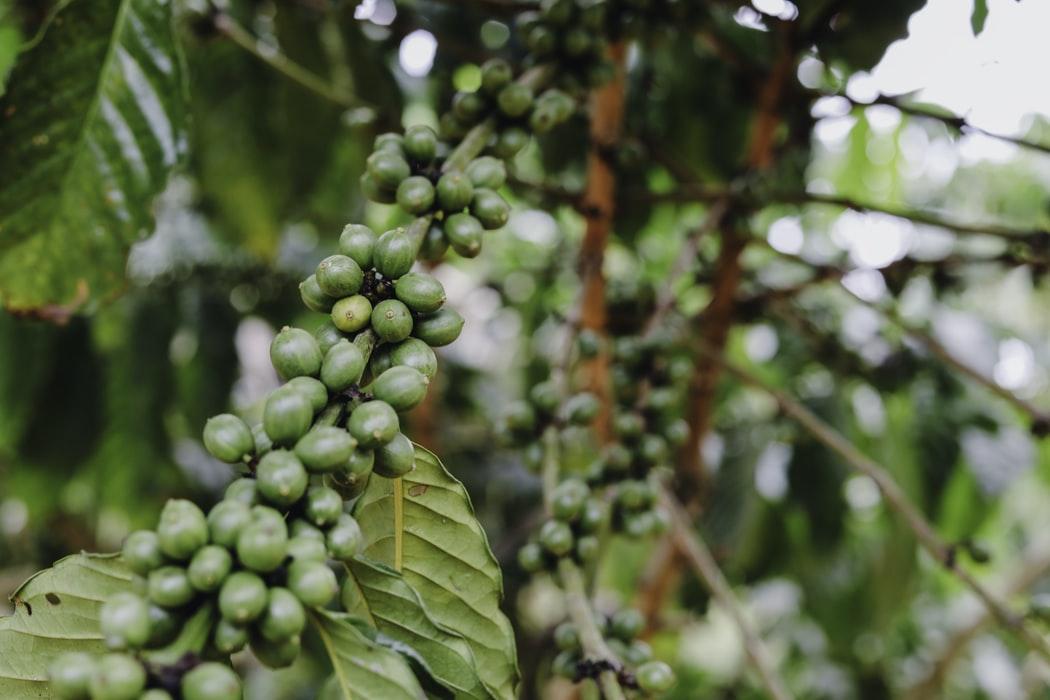 Kaffeepflanze in Mbale Uganda
