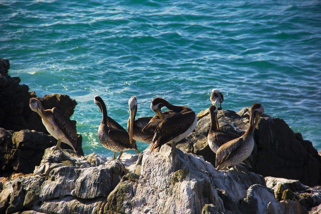 Pelikane Pazifikküste Chile