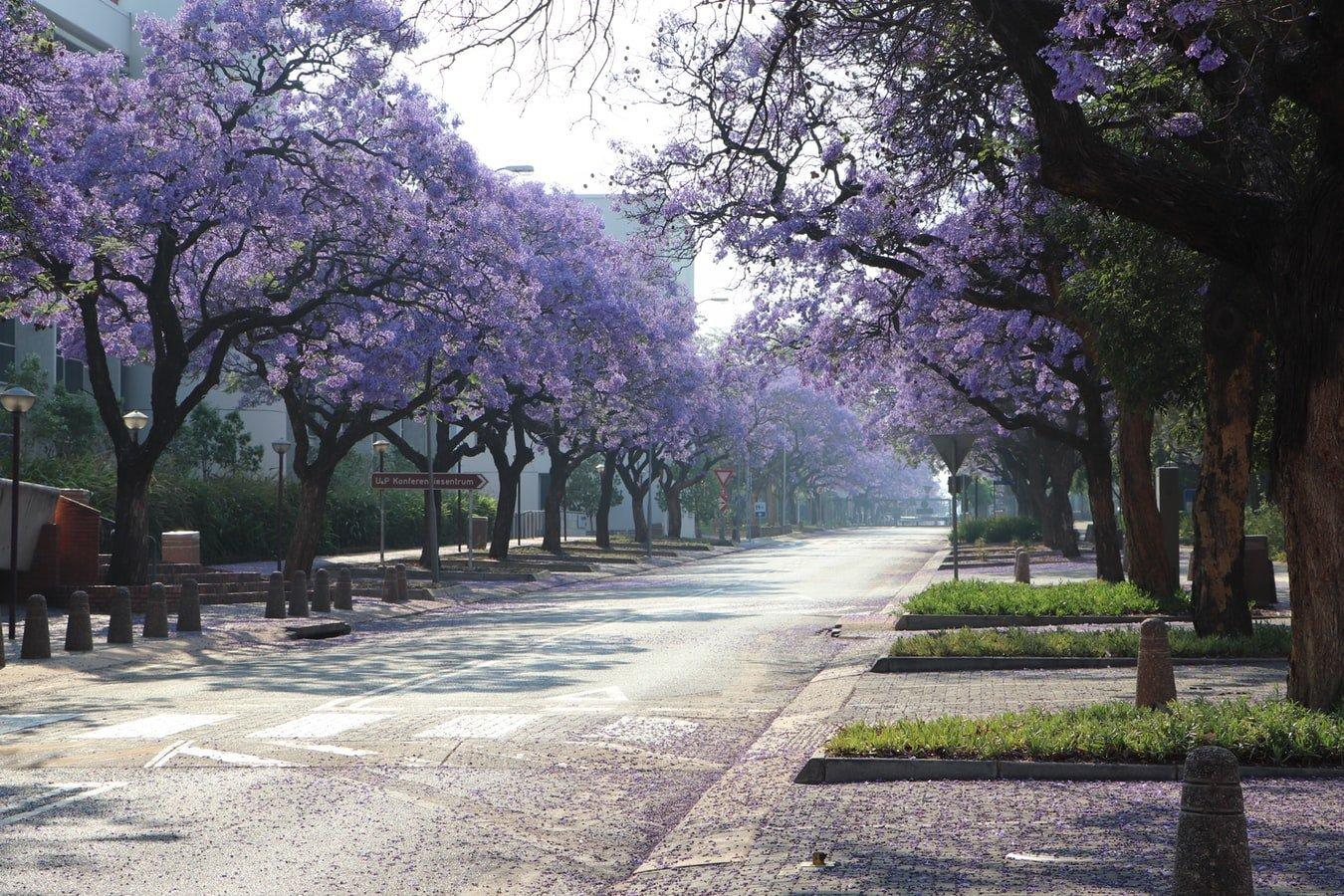 Blühende Jacaranda Bäume in Pretoria Südafrika