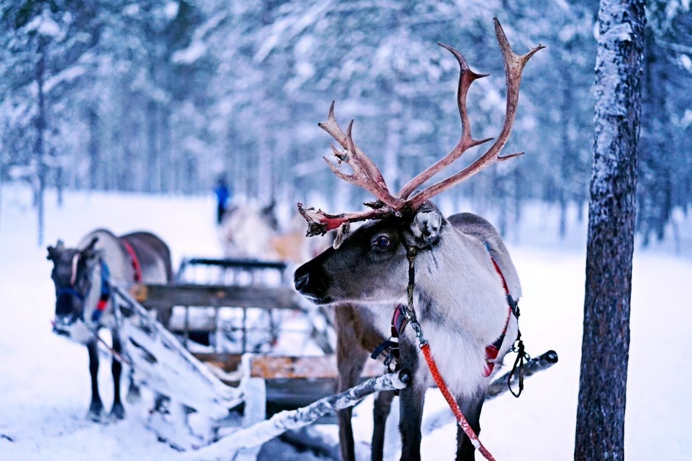Rentierschlitten am Polarkreis in Finnland
