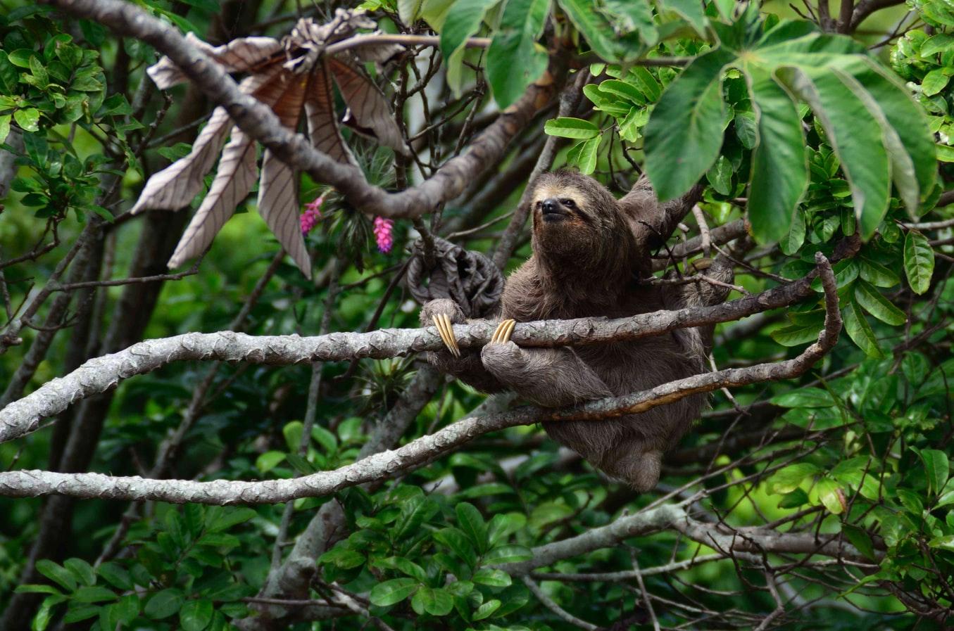Faultier im Regenwald Bolivien