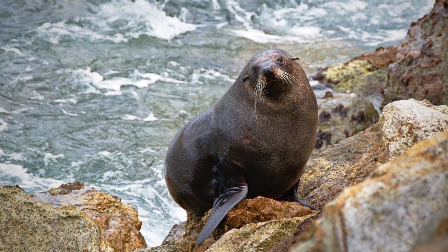 Seelöwe Dunedin Neuseeland