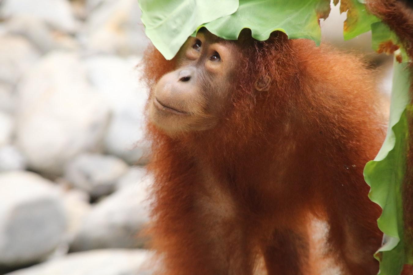 Orang-Utan in Sumatra Indonesien