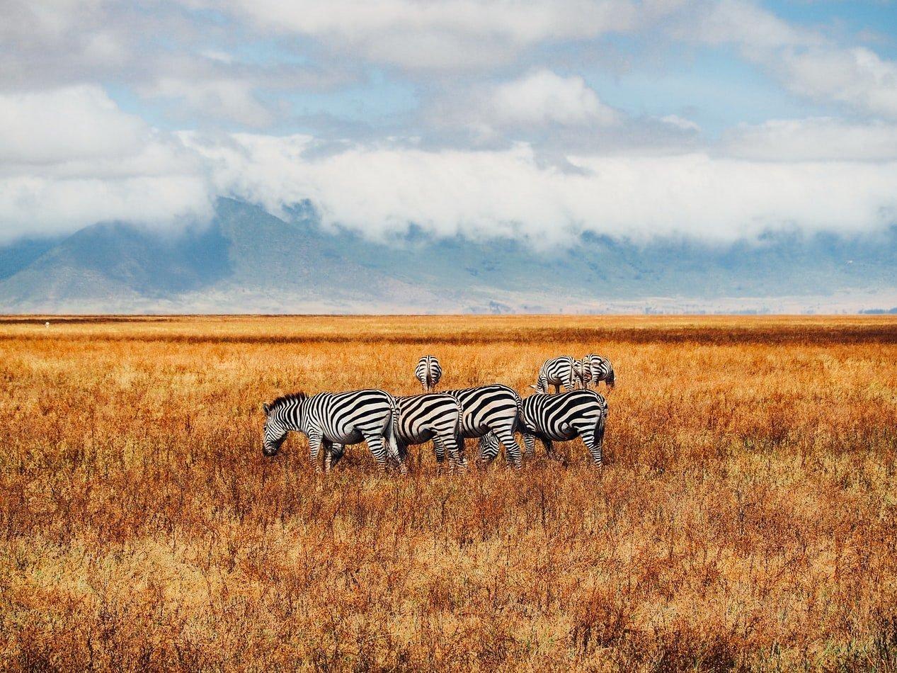 Zebras am Ngorongoro Krater in Tansania